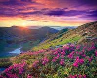 Rosa Rhododendron blüht in den Bergen bei Sonnenaufgang stockfotos