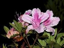 Rosa rhododendron blommar i mest cloudforest Royaltyfria Foton