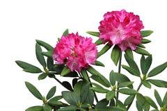 Rosa Rhododendron-Blumen-Anlage Stockbilder