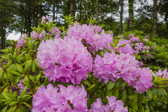 Rosa Rhododendron Bush im Wald Lizenzfreie Stockfotografie