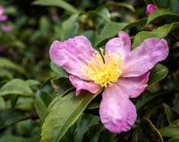 Rosa rhododendron i blomma Arkivbilder