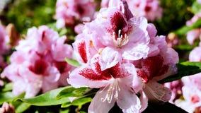 Rosa rhododendron i trädgården Kameraflyttningarna drar tillbaka på glidaren Färgkorrigering lager videofilmer