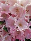 Rosa rhododendronblommor, variation Mardi Gras royaltyfri fotografi