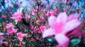 Rosa Rhododendronblumen am Park lizenzfreie stockfotos