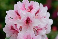 rosa rhododendrons arkivfoton