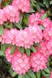 rosa rhododrendron Fotografering för Bildbyråer
