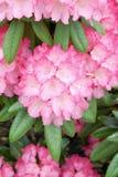 rosa rhododrendron Royaltyfri Bild