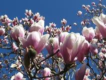 Rosa Ringelblumenblüten Lizenzfreies Stockfoto