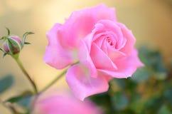 Rosa ro Royaltyfria Bilder