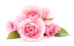rosa ro Arkivfoton