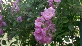 rosa ro för blommor arkivfilmer