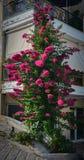 rosa ro för buske fotografering för bildbyråer
