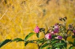Rosa ro i trädgård Royaltyfri Bild