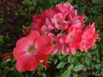Rosa ro i trädgård Royaltyfri Fotografi