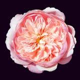 Rosa ro på en svart bakgrund arkivfoton