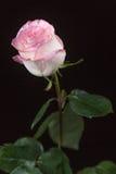Rosa ro på en svart bakgrund Fotografering för Bildbyråer