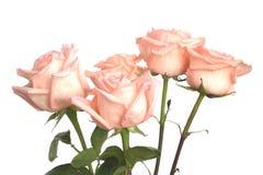 Rosa ro som isoleras på white Arkivfoto