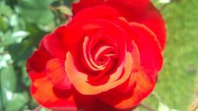 Rosa roja Royaltyfria Foton