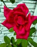Rosa roja Stock Foto's