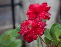Rosa roja asombrosa y diversa hermosa con aguas de los descensos en Colonia tovar; ciudad de s de Venezuela foto de archivo