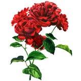 Rosa roja blanda hermosa, ramo de flores, regalo romántico, flor con la hoja aislada, acuarela exhausta de la mano fotos de archivo
