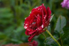 Rosa roja con descensos de rocío en jardín verde imagen de archivo