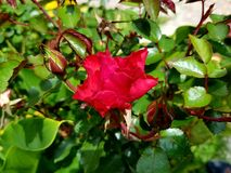 Rosa roja del jardín Stock Images