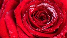 Rosa roja floreciente con la escarcha, cantidad del timelapse metrajes