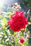 Rosa roja hermosa con la luz trasera fotos de archivo libres de regalías