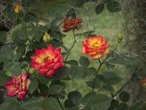 Rosa rokokor Arkivfoton