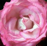 Rosa romántica del rosa con el centro blanco en cierre para arriba Foto de archivo libre de regalías