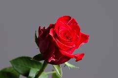 Rosa romántica del rojo de la tarjeta del día de San Valentín en fondo gris aislado Fotografía de archivo libre de regalías