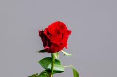 Rosa romántica del rojo de la tarjeta del día de San Valentín en fondo gris aislado Foto de archivo
