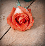Rosa romantica Fotografia Stock Libera da Diritti