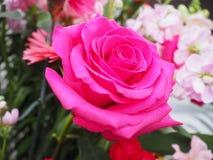 Rosa ros, enkel blomma arkivfoton