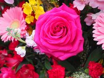 Rosa ros, enkel blomma royaltyfri fotografi