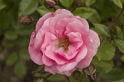 Rosa rosa Fotografia Stock Libera da Diritti