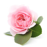 Rosa rosa Immagini Stock