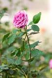 Rosa rosa Fotografie Stock