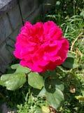 Rosa rosa Royalty-vrije Stock Afbeelding