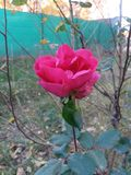 Rosa rosa Imagem de Stock Royalty Free