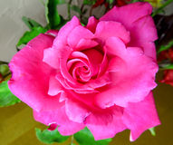 Rosa rosa bakgrund Royaltyfria Foton