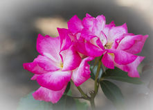 Rosa rosa & bianca fotografie stock libere da diritti