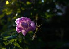 Rosa Rosa Canina för rosa hund blommor Royaltyfria Bilder