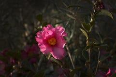 Rosa Rosa Canina för rosa hund blommor Arkivfoton