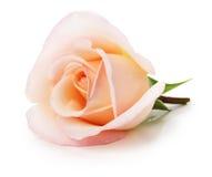 Rosa rosa clara aislada en el fondo blanco Imagenes de archivo