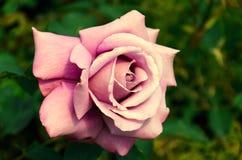 Rosa rosa clara grande Fotografía de archivo
