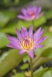 Rosa rosa della natura del loto Fotografia Stock Libera da Diritti