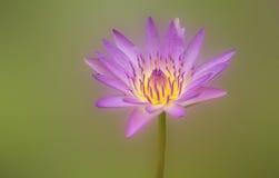 Rosa rosa della natura del loto Immagini Stock Libere da Diritti