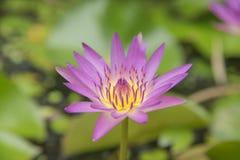 Rosa rosa della natura del loto Immagine Stock
